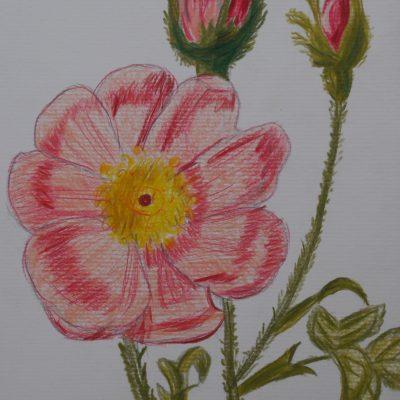 La rosa abierta | 21x15